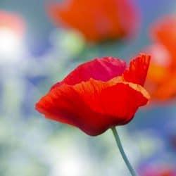 poppy-sale-for-veterans-st-marks-capitol-hill-dc
