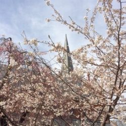st-marks-capitol-hill-dc-cherry-blossoms-steeple